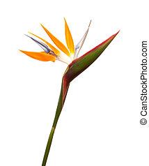 Strelitzia reginae, bird of paradise flower isolated