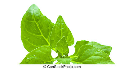 Tetragonia tetragonioides, New Zealand spinach, isolated on...