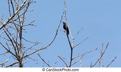 Blackbird in a tree.