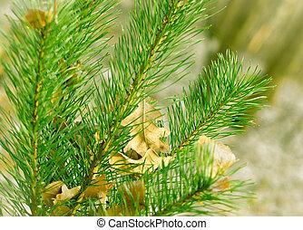 Fresh green fir branch.