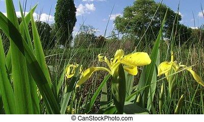 Iris pseudacorus, paleyellow iris blooming in reedland...