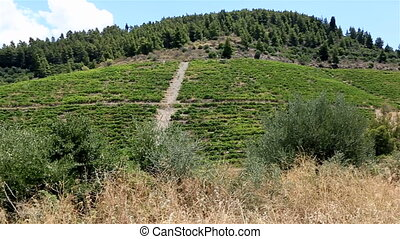 Vineyards on the slopes Sithonia peninsula Northern Greece...