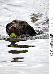 Swimming dog - A dog swimming in the water with a ball in...