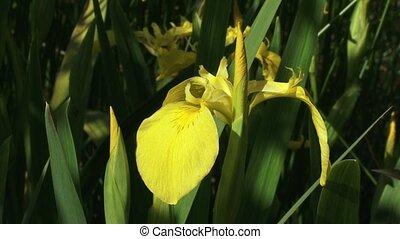 Iris pseudacorus, yellow iris   pan
