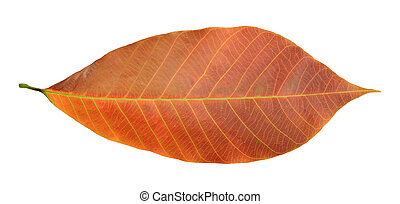 Rubber leaf isolated on white
