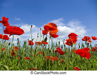 poppy red - Poppy flower in the sky