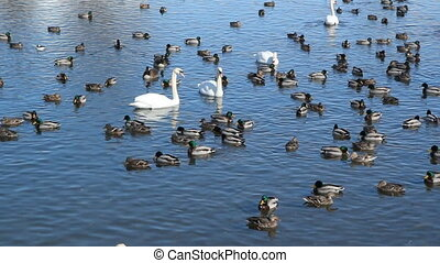 Ducks and Swans. - Duck and swans in the lake. Winter in...