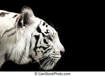 Bengal white tiger. - Profile of Bengal white tiger on a...