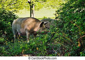 Pig at the bushes - Pig in the thicket green bushes....