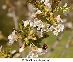 White Cherry Blossoms With Dried Cherry - This is a branch...