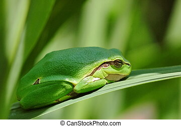 European tree frog Hyla arborea resting on a leaf
