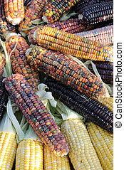 indio, maíz, Mazorcas
