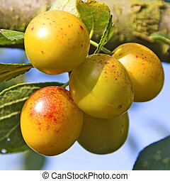 mellow mirabelle - Mellow mirabelles - small yellow plums -...