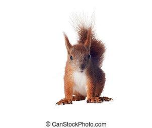 Eurasian red squirrel - Sciurus vulgaris isolated white...