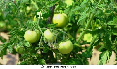 Green Tomatoes On A Branch Of A Bush - growing green...