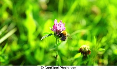 Bumblebee Pollinating Clover Flowers - Close up of a bumble...