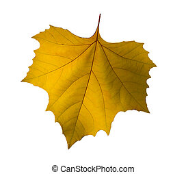 Plane-tree leaf isolated