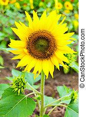 u201CNatsu Monogatariu201D, Summer Story, Sunflower in...