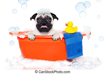 Dog taking a bath - pug dog in a bathtub not so amused about...