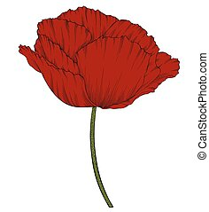 red poppy in a hand-drawn graphic style isolated on background.