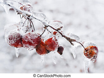 Crap apples on icy branch - Red crab apples on branch frozen...