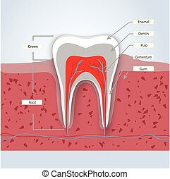 Tooth anatomy infographics in detail with...