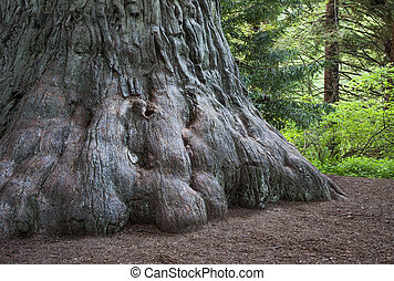 The Giant - Sequoia sempervirens, Prairie Creek Redwoods...