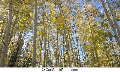 Aspen Trees Fall Colors - Aspen Trees against clear blue sky...