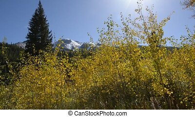 Yellow Aspen Trees against blue Sky Autumn Colorado...