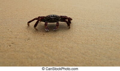 crab on sandy beach - Big crab crawling along the sandy...