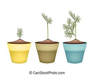 Three Green Dills in Terracotta Flower Pots
