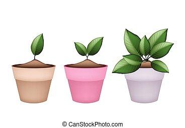 Lovely Green Trees in Terracotta Flower Pots - Houseplant,...