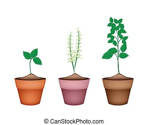 Holy Basil Plants in Ceramic Flower Pots - Vegetable and...