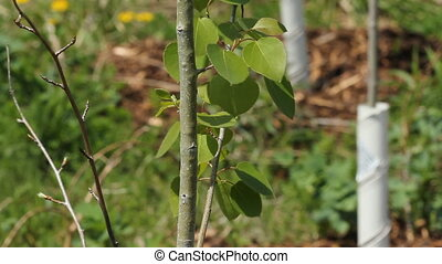 Young recently planted tree. - Shallow depth of field with...