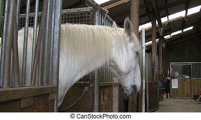 White horse in his stall - White horse standing in his stall...