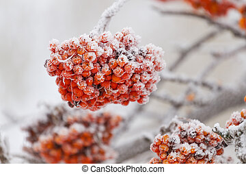 Rowanberry tree on the snow in winter