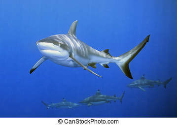 Sharks - a large grey reef shark showing the mouth and...