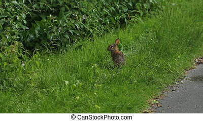 Wild rabbit. Wide shot.