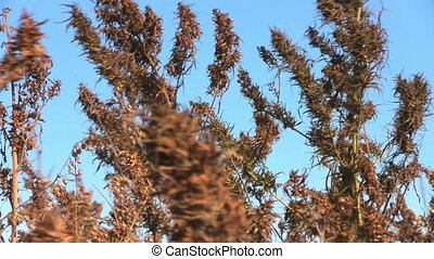 Dry grass on the wind over blue sky background