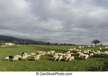 Sheep - sheep grazing in the fall in the green grass.