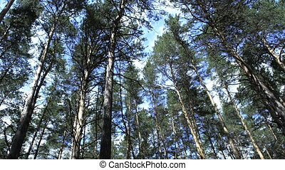 Coniferous green pine forest tree trunks