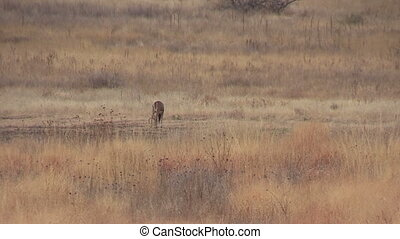 Whitetail Buck Grazing - a whitetail buck grazing in a field