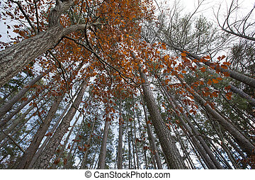 Forest Canopy - An upward view of a forest canopy during...