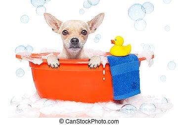dog taking a bath - chihuahua dog in a bathtub not so amused...