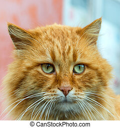 Red cat with green eyes looking at camera