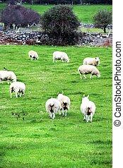 Beautiful Irish sheeps, Ireland - Beautiful view of Irish...