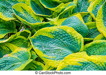 Green leaves hosta with water drops for background