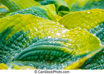 Green leaves with water drops - Green leaves hosta with...