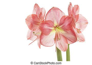 Pink Amaryllis closeup, isolated on white