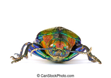 Jewel Beetle - Macro image of a Jewel Beetle found at the...